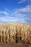 Dried Out Corn Stalks Farmer Field Vertical Royalty Free Stock Image
