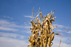 Corn Stalks. Tall Corn Stalks ready for harvest Royalty Free Stock Photography