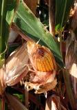 Corn Stalks Stock Image