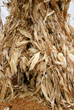 Corn Stalks 5735. Corn stalks shown baled together Stock Photo