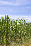 Corn stalks Royalty Free Stock Image