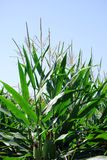 Corn stalks Stock Photo