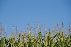Corn stalks against blue sky Stock Photo