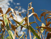 Corn stalks against blue sky on a bright sunny day Stock Image