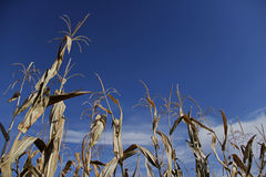 Corn stalks against blue sky in corn maze Stock Images