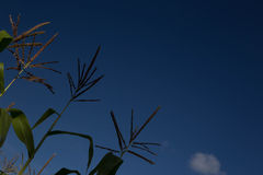 Corn stalks against a blue sky on a sunny day Royalty Free Stock Images