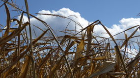 Corn stalks against blue sky and large white clouds Royalty Free Stock Photo