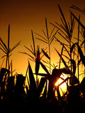 Corn stalks against the setting sun Royalty Free Stock Image