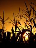 Corn stalks against the setting sun Royalty Free Stock Image