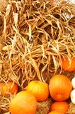 Corn Stalks and Autumn Pumpkins. Traditionally used as fall decorations stock photo