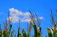 Corn stalks with backdrop of clouds Stock Image