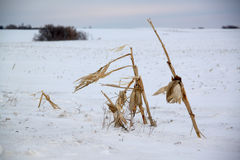 Corn stalks on a blustery winter day Stock Photos