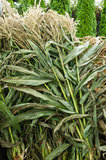 Corn stalks bundled for sale Royalty Free Stock Photography