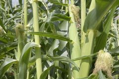 Corn stalks and corn in a garden Royalty Free Stock Images