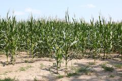 Corn stalks in dry earth Stock Photos