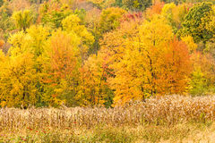 Corn stalks and fall colors. Upstate rural New York royalty free stock photography