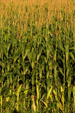 Corn stalks on a farm Royalty Free Stock Photo