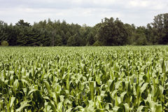 Corn stalks field Royalty Free Stock Photography
