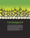 Corn Stalks Field Stock Photo