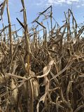 Corn stalks in front of a blue sky Stock Photos