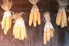 Corn stalks hanging on ceiling of wooden storage for decoration. Stock Photos