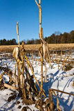 Corn stalks left after harvest. Corn stalks left in a snowy field in Lee, Massachusetts, after the harvest. Last men standing, or tall poppy syndrome Stock Image