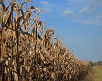 Corn stalks reach for the sky Stock Images