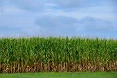 Corn Stalks ready for picking Stock Photos