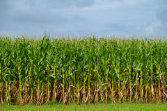 Corn Stalks ready for picking Stock Images