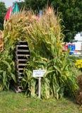 Corn Stalks Stock Images