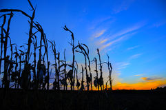Corn stalks silhouetted at sunset Stock Photos