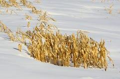 Corn Stalks in Snow Stock Photo