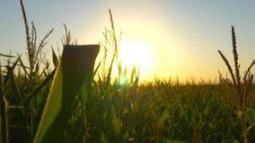 Corn stalks at sunset in the sun. Stalks of corn at sunset in the sun. Video in motion stock video footage