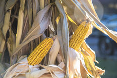 Corn Stalks Stock Photography