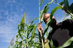 Corn starter Royalty Free Stock Image