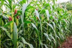 Corn stems and corn cob Stock Photos