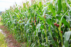 Corn stems and corn cob Stock Photography