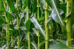 Corn stems Royalty Free Stock Photo