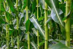 Corn stems Royalty Free Stock Photo