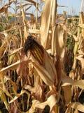 Corn still in field Royalty Free Stock Image