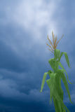 Corn with storm Royalty Free Stock Image