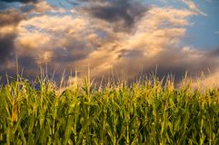 Corn and stormy clouds royalty free stock image
