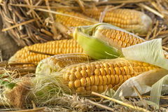 Corn in the straw Stock Photo