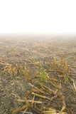 Corn Stubble Stock Image