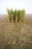 Corn stubble field on a misty morning Royalty Free Stock Photo