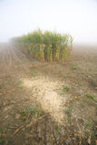 Corn stubble field on a misty morning Royalty Free Stock Images