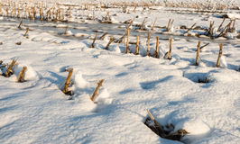 Corn stubble in the snow from close Stock Photos