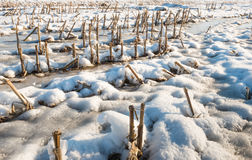 Corn stubble in the snow from close Royalty Free Stock Image