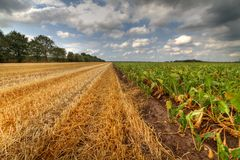Corn stubbles and sugar beet. Rural landscape under blue sky with dark clouds, corn stubbles and sugar beet royalty free stock photo