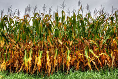 Corn in summer time Stock Photography